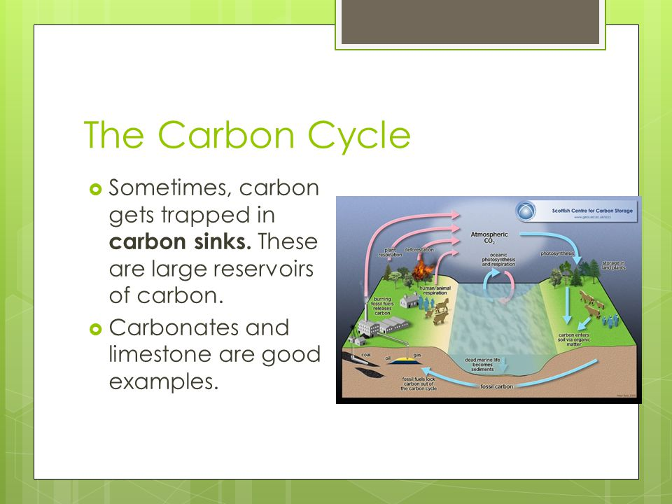 The Carbon Cycle Sometimes, carbon gets trapped in carbon sinks. These are large reservoirs of carbon.