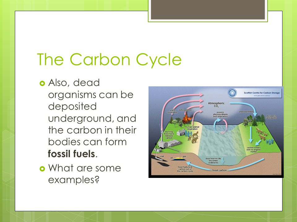 The Carbon Cycle Also, dead organisms can be deposited underground, and the carbon in their bodies can form fossil fuels.