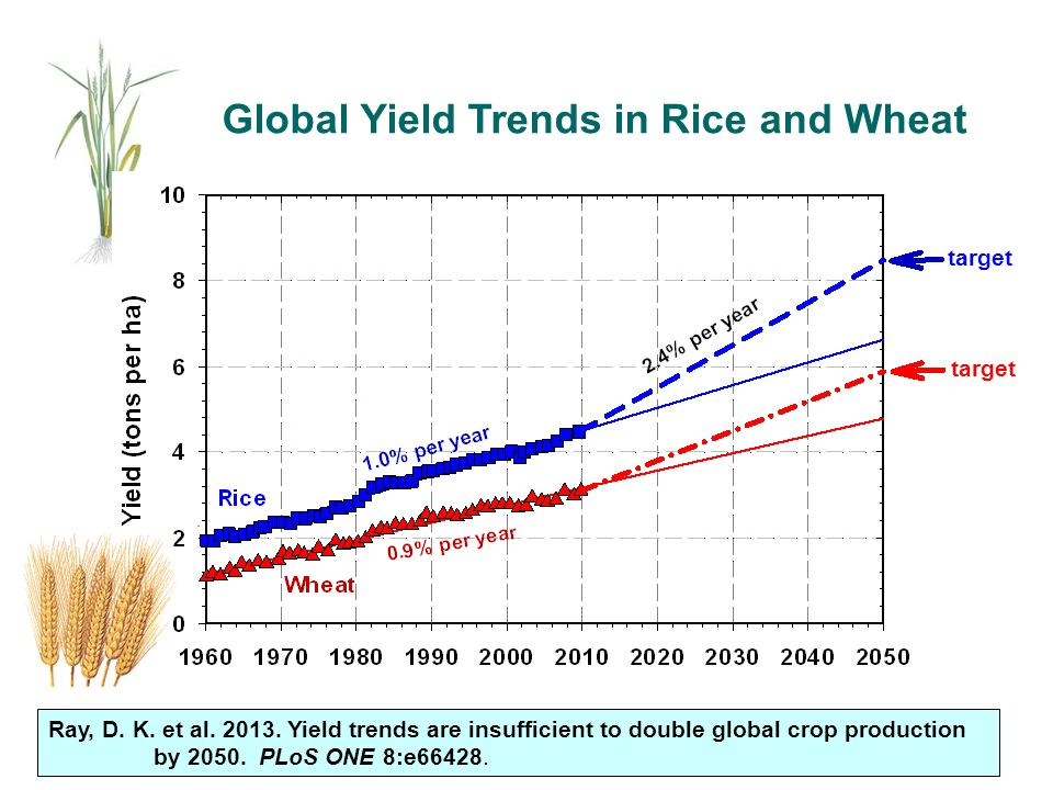 Global Yield Trends in Rice and Wheat