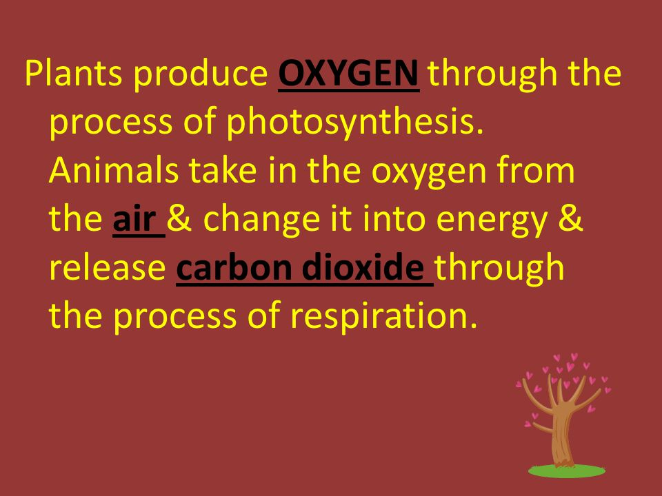 Plants produce OXYGEN through the process of photosynthesis