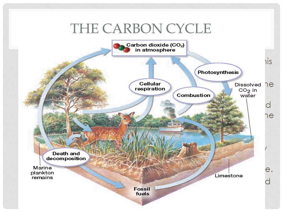 The Carbon Cycle Animals then eat this vegetation.