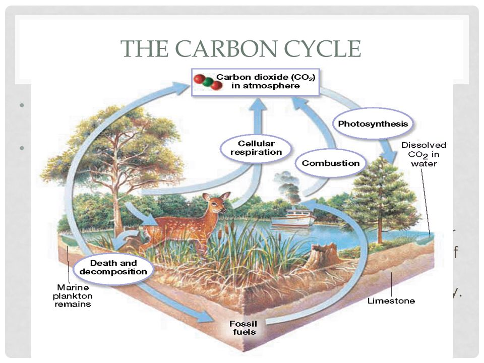 The Carbon Cycle All life, plants, animals & everything else, eventually dies.