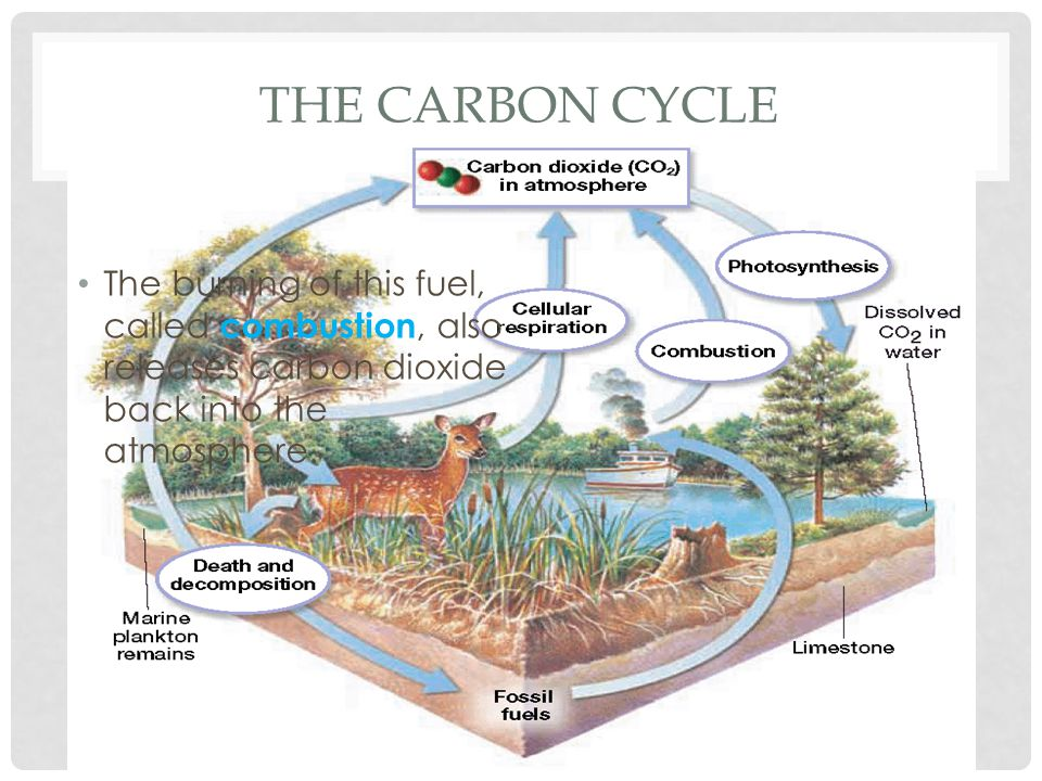 The Carbon Cycle The burning of this fuel, called combustion, also releases carbon dioxide back into the atmosphere.