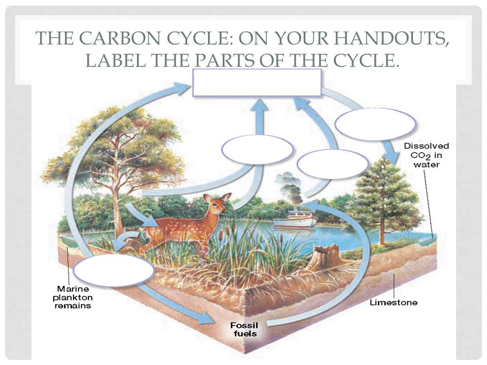 The Carbon Cycle: on your handouts, label the parts of the cycle.