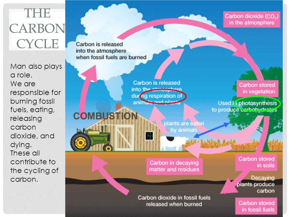 The Carbon Cycle COMBUSTION Man also plays a role.