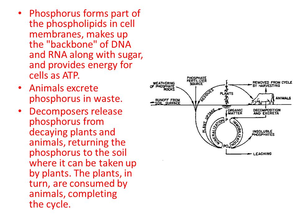Phosphorus forms part of the phospholipids in cell membranes, makes up the backbone of DNA and RNA along with sugar, and provides energy for cells as ATP.