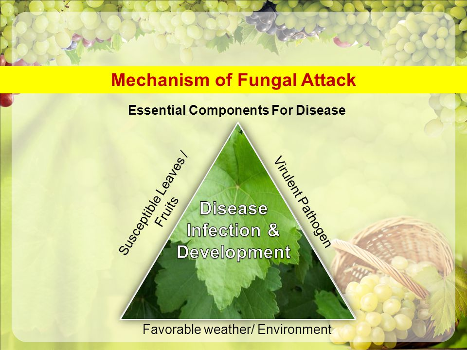 Mechanism of Fungal Attack