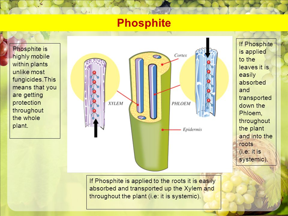 Phosphite If Phosphite is applied
