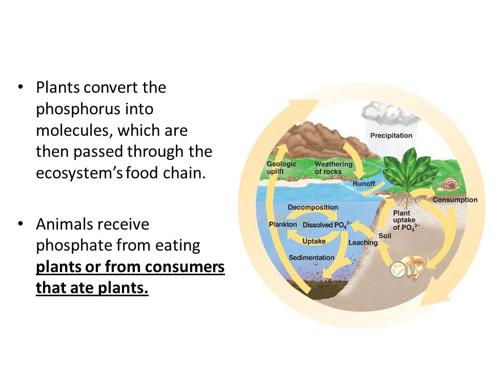Plants convert the phosphorus into molecules, which are then passed through the ecosystem's food chain.