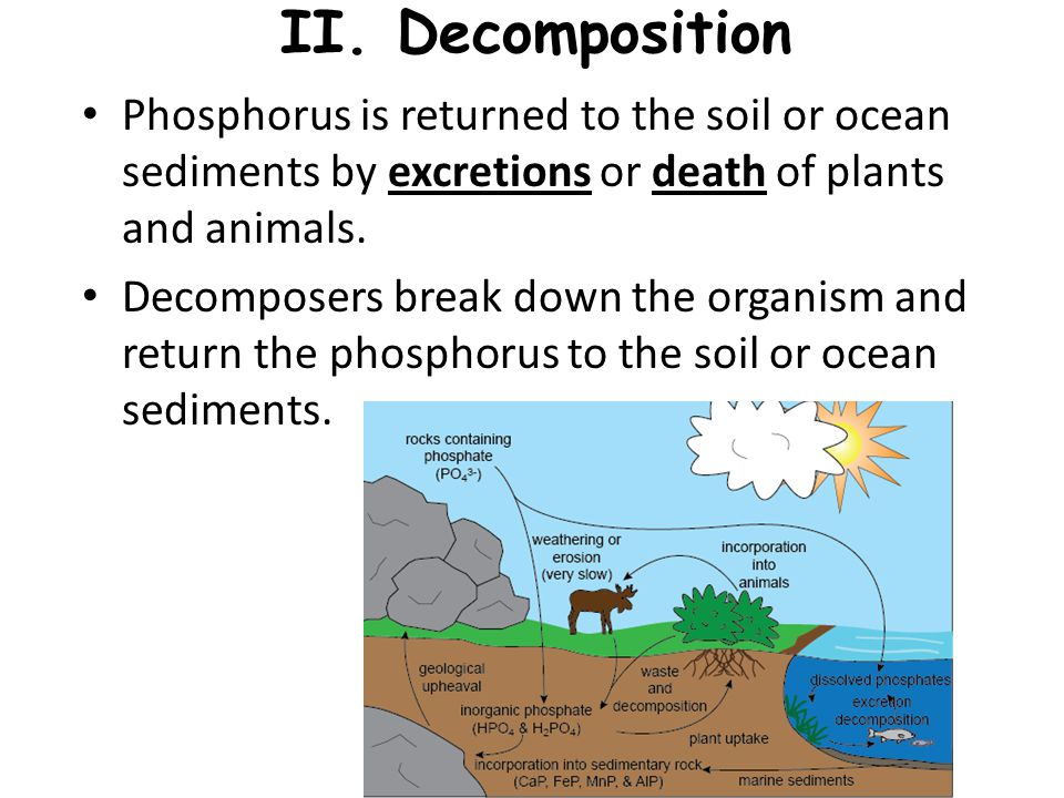 II. Decomposition Phosphorus is returned to the soil or ocean sediments by excretions or death of plants and animals.