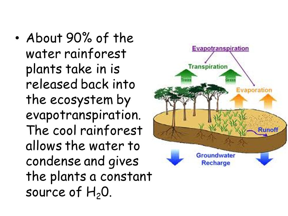 About 90% of the water rainforest plants take in is released back into the ecosystem by evapotranspiration.