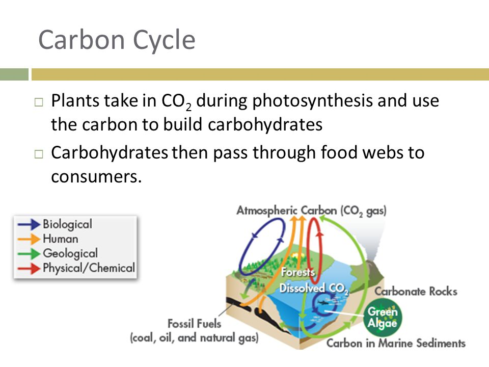 Carbon Cycle Plants take in CO2 during photosynthesis and use the carbon to build carbohydrates.