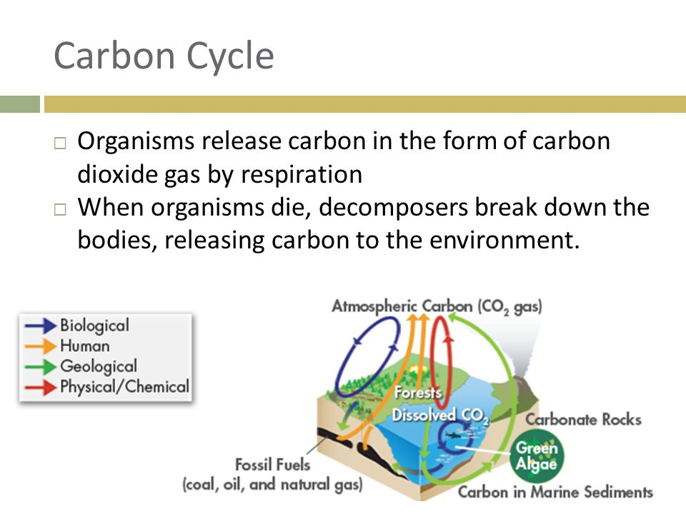 Carbon Cycle Organisms release carbon in the form of carbon dioxide gas by respiration.
