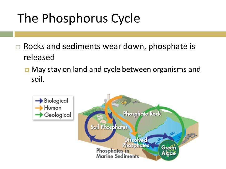 The Phosphorus Cycle Rocks and sediments wear down, phosphate is released.