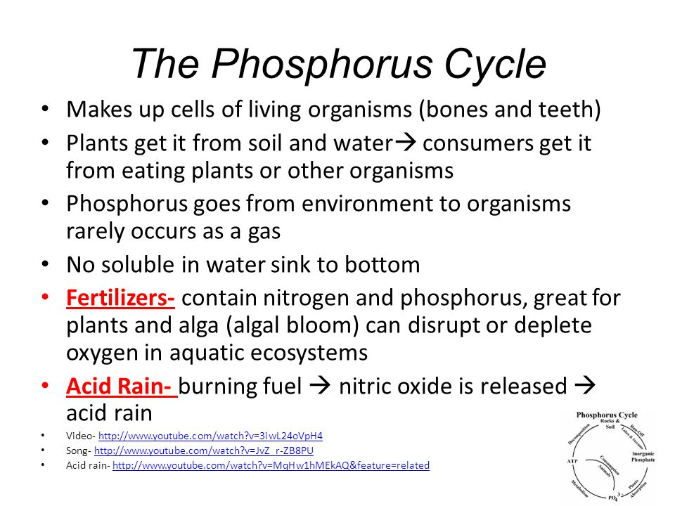 The Phosphorus Cycle Makes up cells of living organisms (bones and teeth)