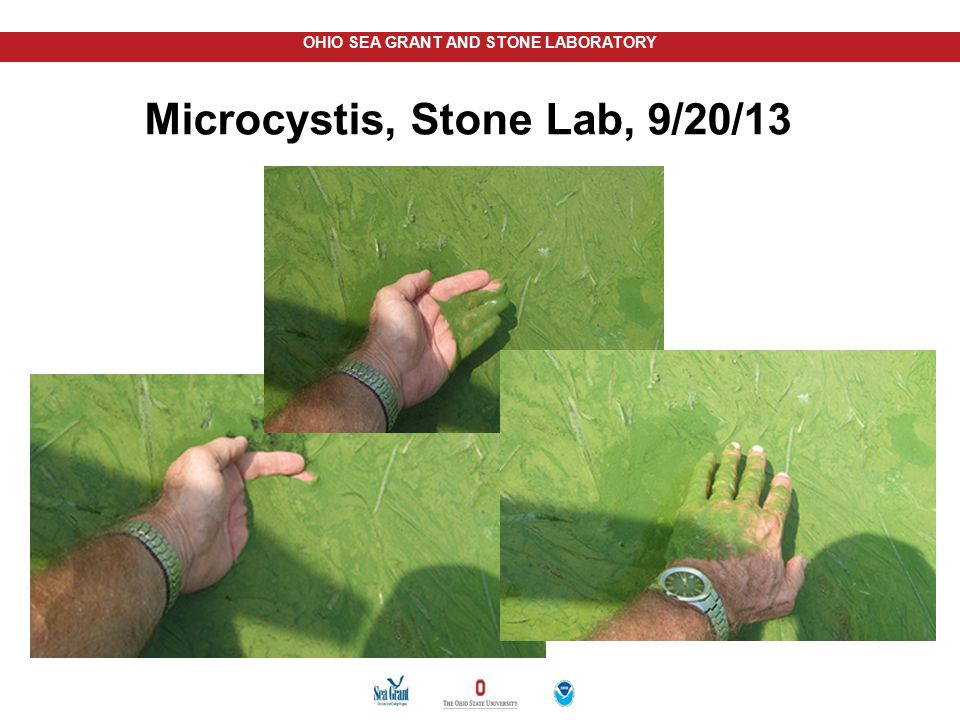 Microcystis, Stone Lab, 9/20/13