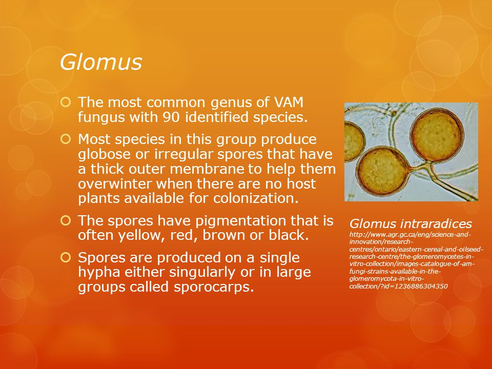 Glomus The most common genus of VAM fungus with 90 identified species.