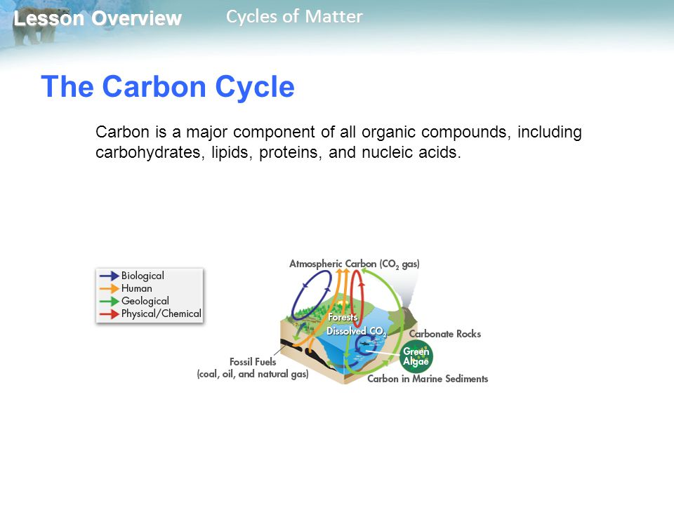 The Carbon Cycle Carbon is a major component of all organic compounds, including carbohydrates, lipids, proteins, and nucleic acids.