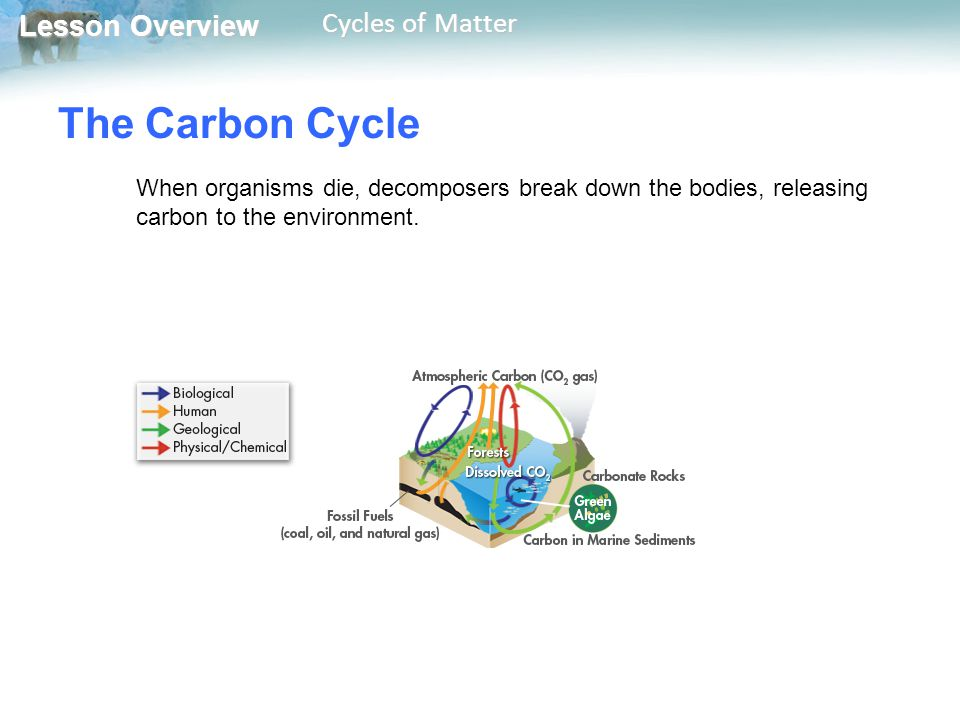 The Carbon Cycle When organisms die, decomposers break down the bodies, releasing carbon to the environment.