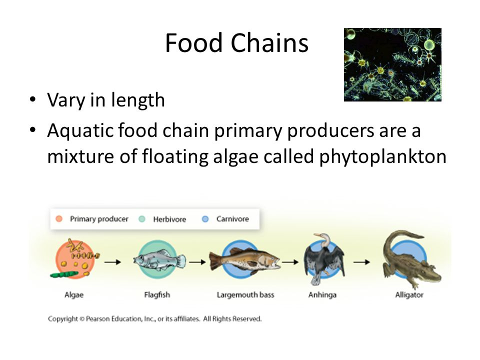 Food Chains Vary in length
