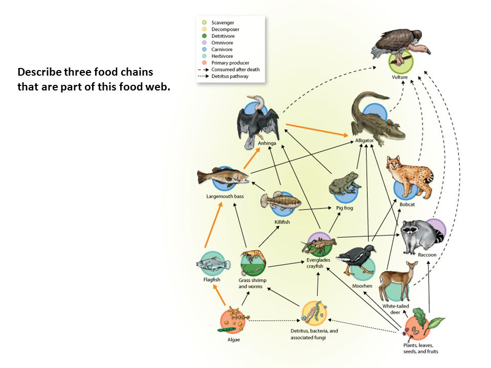 Describe three food chains that are part of this food web.