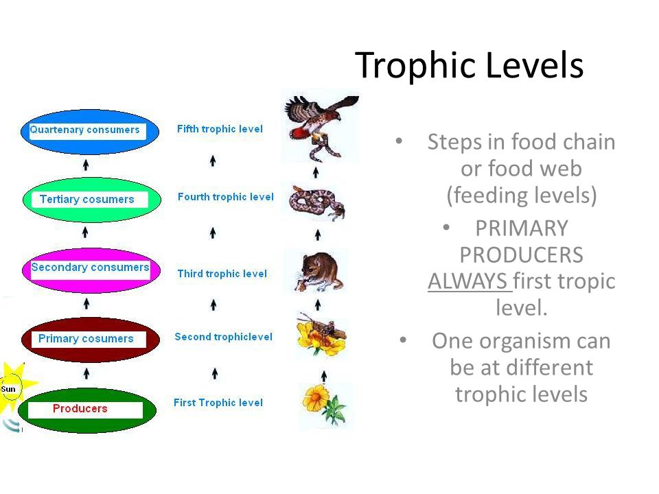 Trophic Levels Steps in food chain or food web (feeding levels)