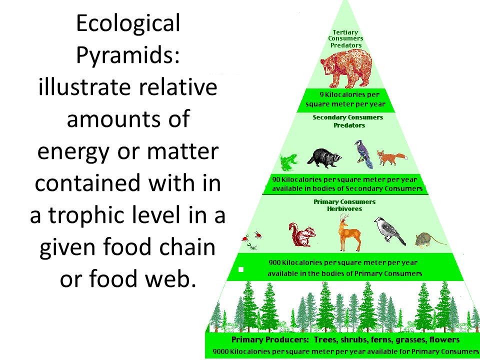 Ecological Pyramids: illustrate relative amounts of energy or matter contained with in a trophic level in a given food chain or food web.