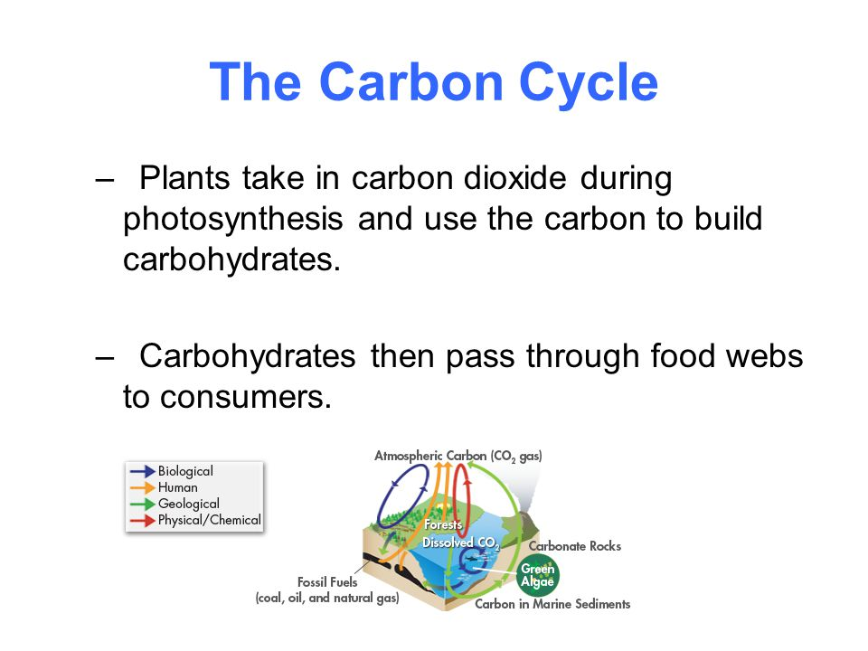 The Carbon Cycle Plants take in carbon dioxide during photosynthesis and use the carbon to build carbohydrates.