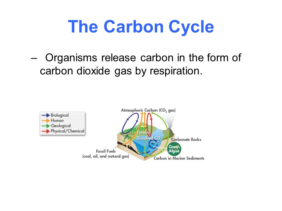 The Carbon Cycle Organisms release carbon in the form of carbon dioxide gas by respiration.