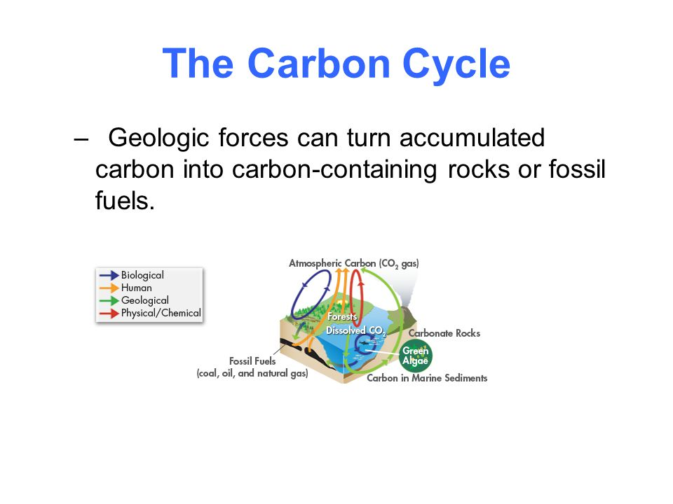 The Carbon Cycle Geologic forces can turn accumulated carbon into carbon-containing rocks or fossil fuels.
