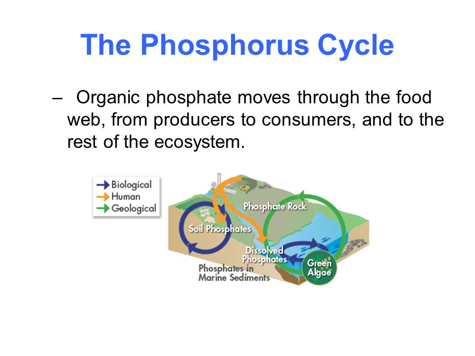 The Phosphorus Cycle Organic phosphate moves through the food web, from producers to consumers, and to the rest of the ecosystem.