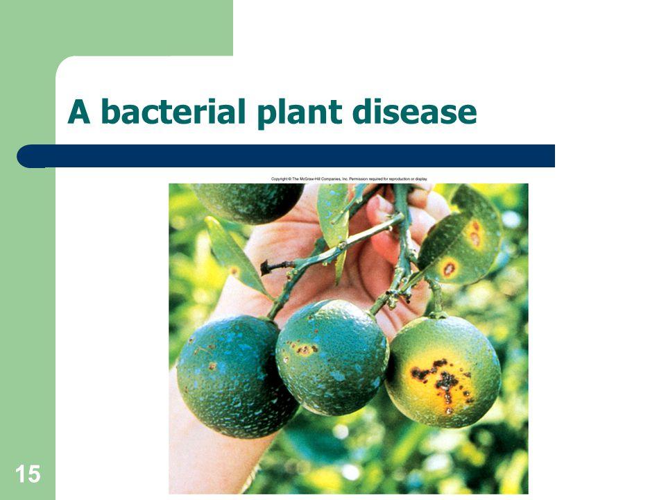 A bacterial plant disease