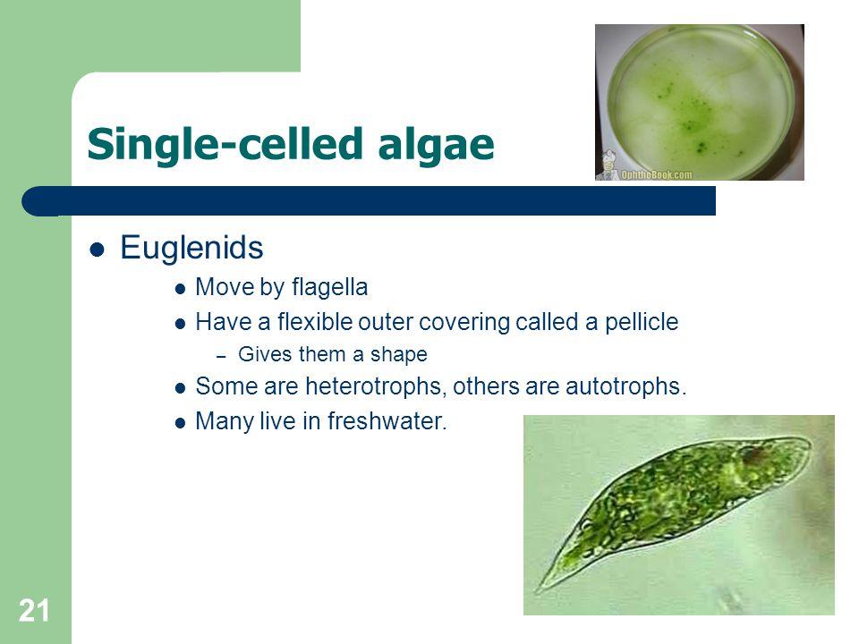 Single-celled algae Euglenids Move by flagella
