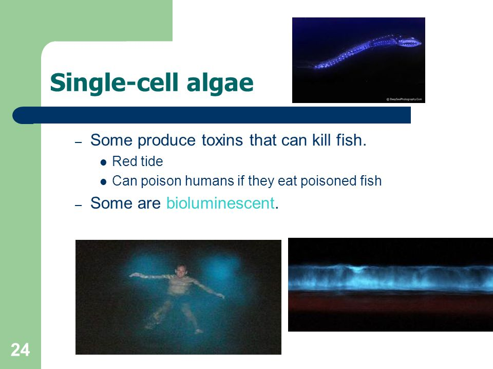 Single-cell algae Some produce toxins that can kill fish.