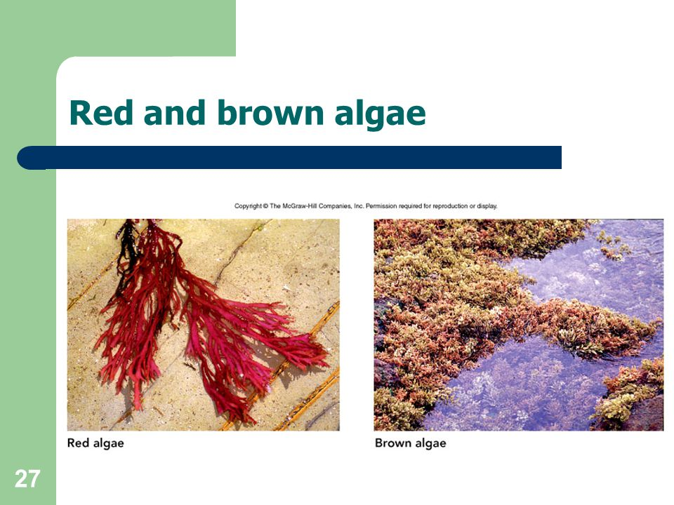 Red and brown algae