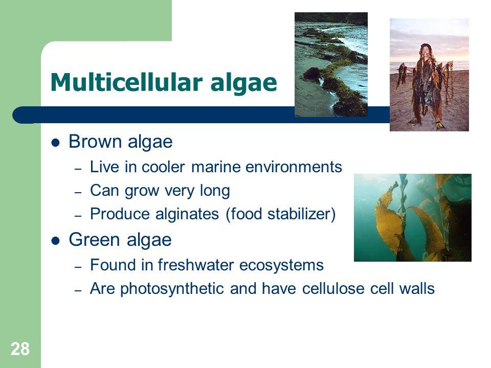 Multicellular algae Brown algae Green algae