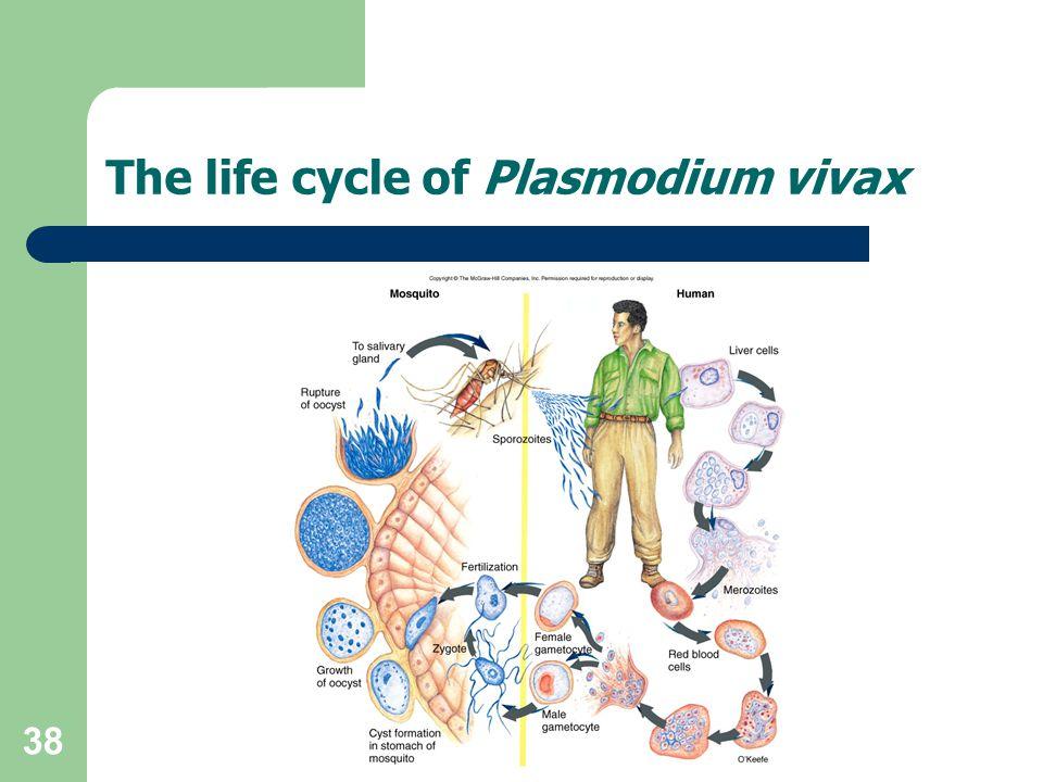 The life cycle of Plasmodium vivax