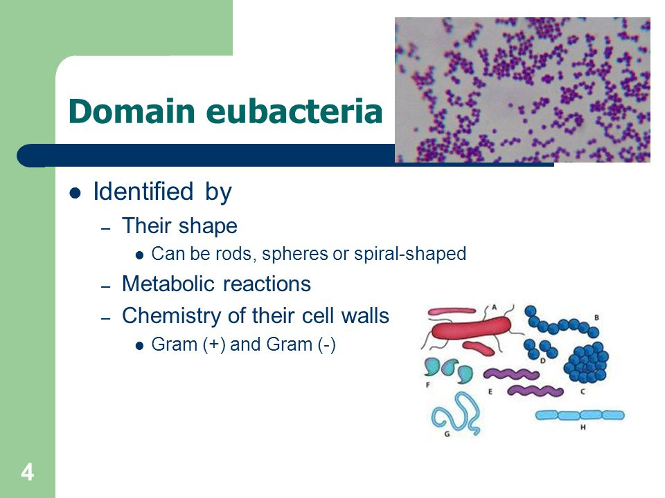 Domain eubacteria Identified by Their shape Metabolic reactions