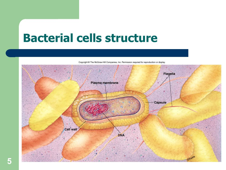 Bacterial cells structure
