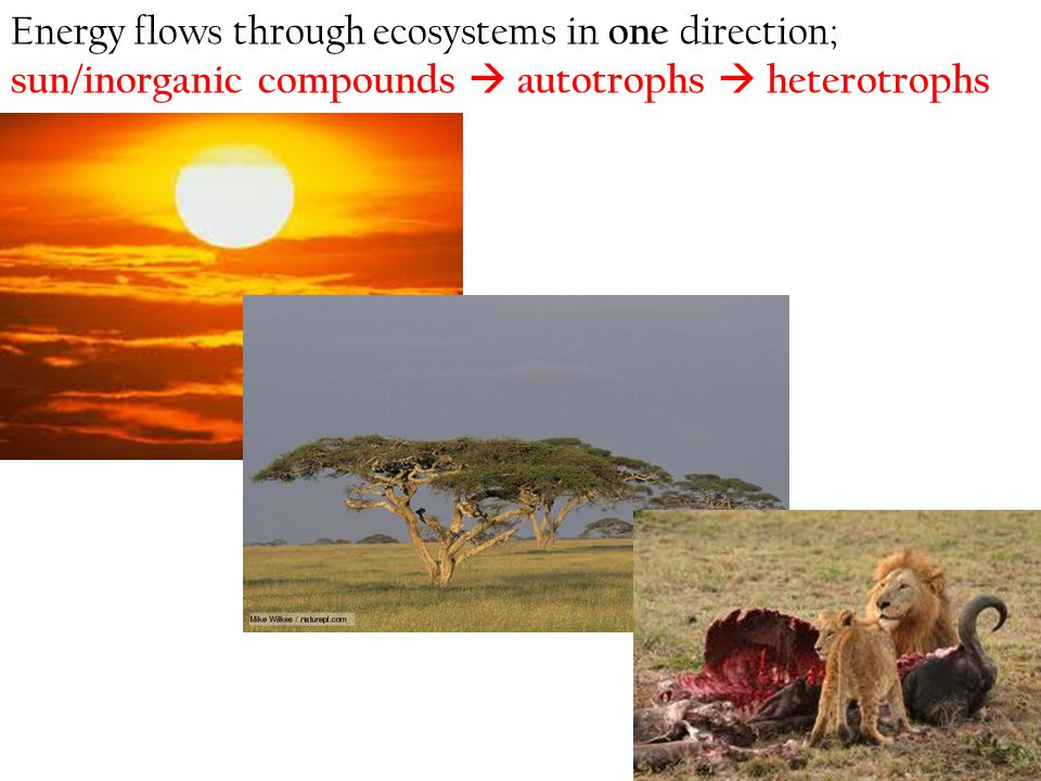 Energy flows through ecosystems in one direction; sun/inorganic compounds  autotrophs  heterotrophs