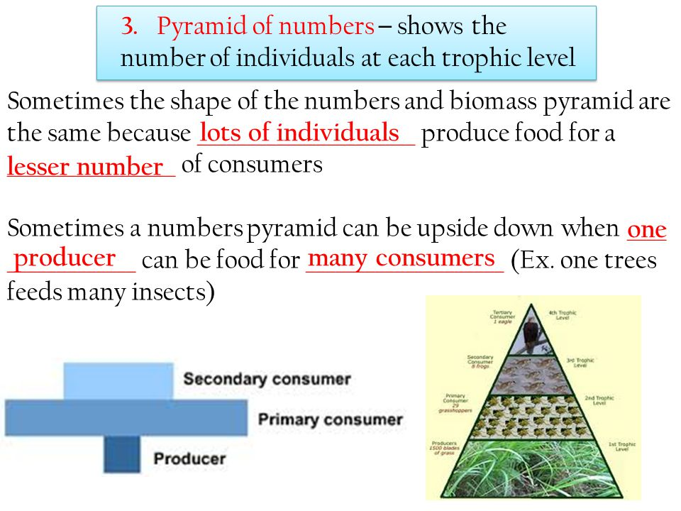 3. Pyramid of numbers – shows the number of individuals at each trophic level