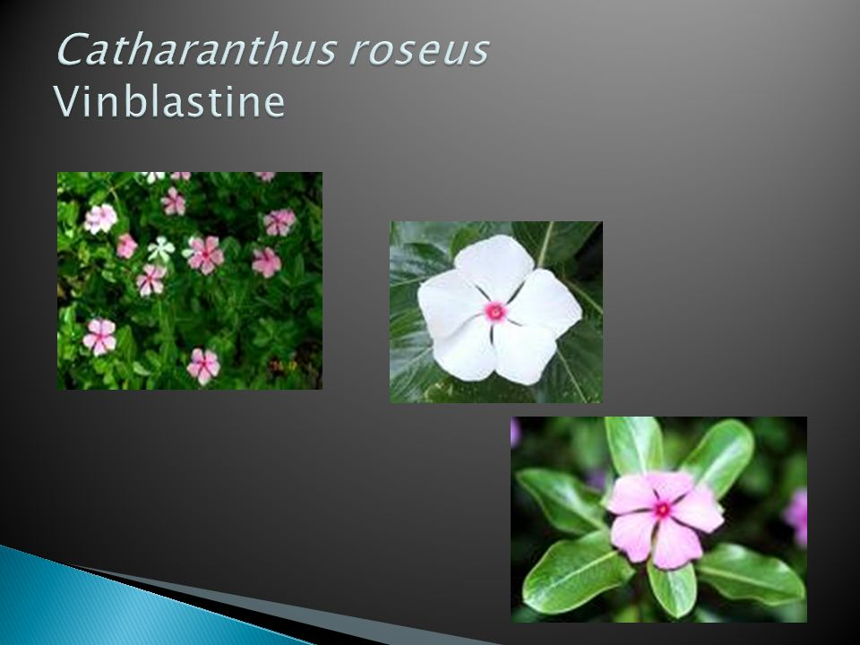 Catharanthus roseus Vinblastine