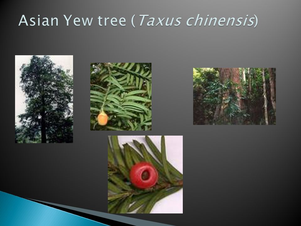 Asian Yew tree (Taxus chinensis)