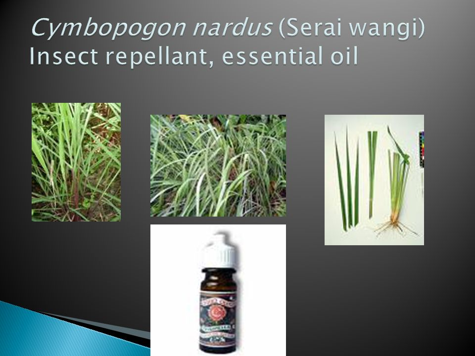 Cymbopogon nardus (Serai wangi) Insect repellant, essential oil
