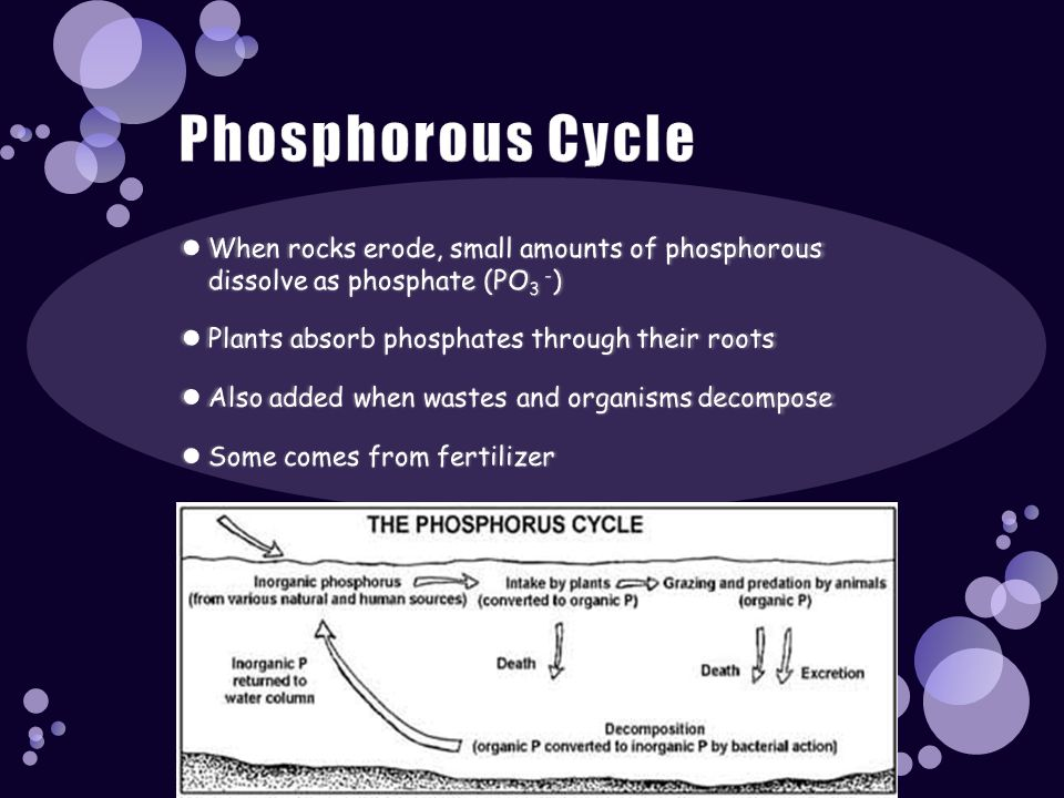 Phosphorous Cycle When rocks erode, small amounts of phosphorous dissolve as phosphate (PO3 -) Plants absorb phosphates through their roots.