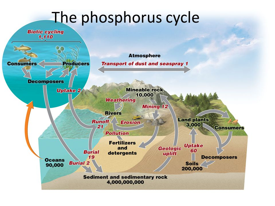 the phosphorous cycle The phosphorus cycle is the simplest of the biogeochemical cycles phosphorus is the eleventhmost abundant mineral in the earth's crust and does not exist in a gaseous state natural inorganic phosphorus deposits occur primarily as phosphates, that is, a phosphorous atom linked to four oxygen atoms, in the mineral apatite.