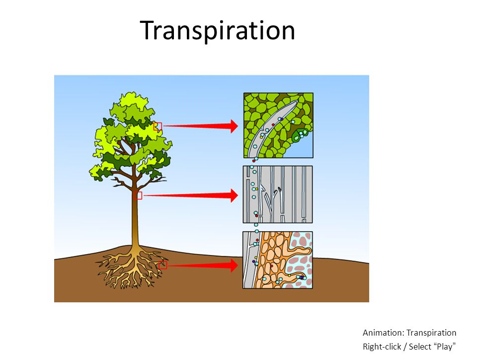 Transpiration Animation: Transpiration Right-click / Select Play
