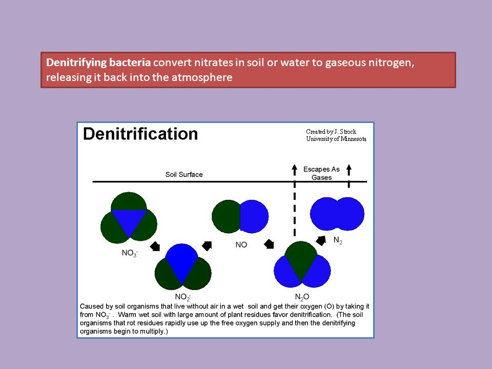 Denitrifying bacteria convert nitrates in soil or water to gaseous nitrogen, releasing it back into the atmosphere