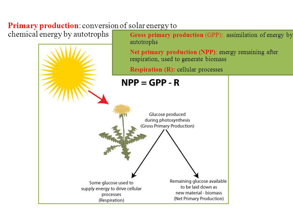 Primary production: conversion of solar energy to chemical energy by autotrophs