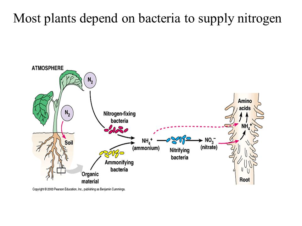 Most plants depend on bacteria to supply nitrogen